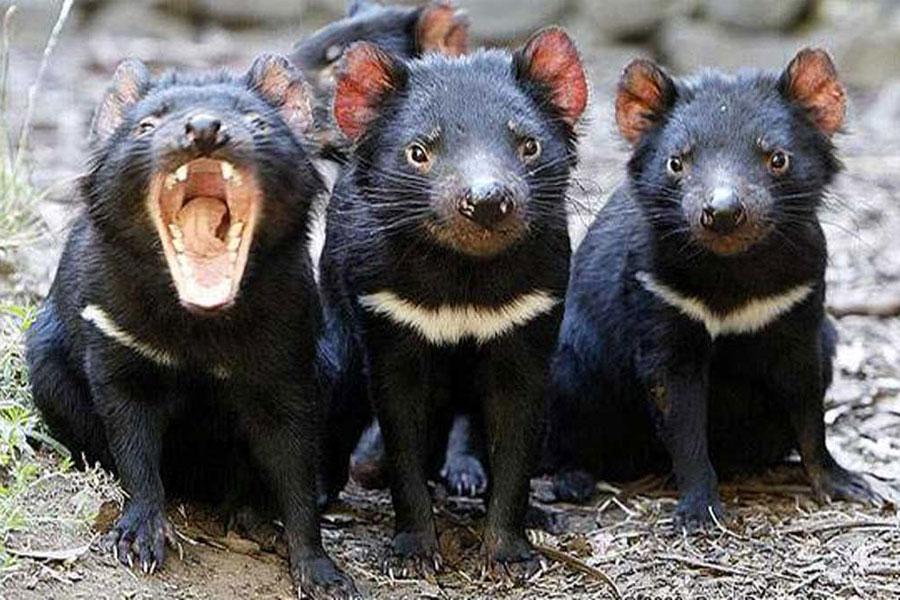 Tres demonios de tasmania