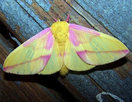 Polilla rosa o mariposa rosa